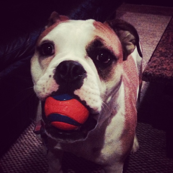 Bulldog.playful